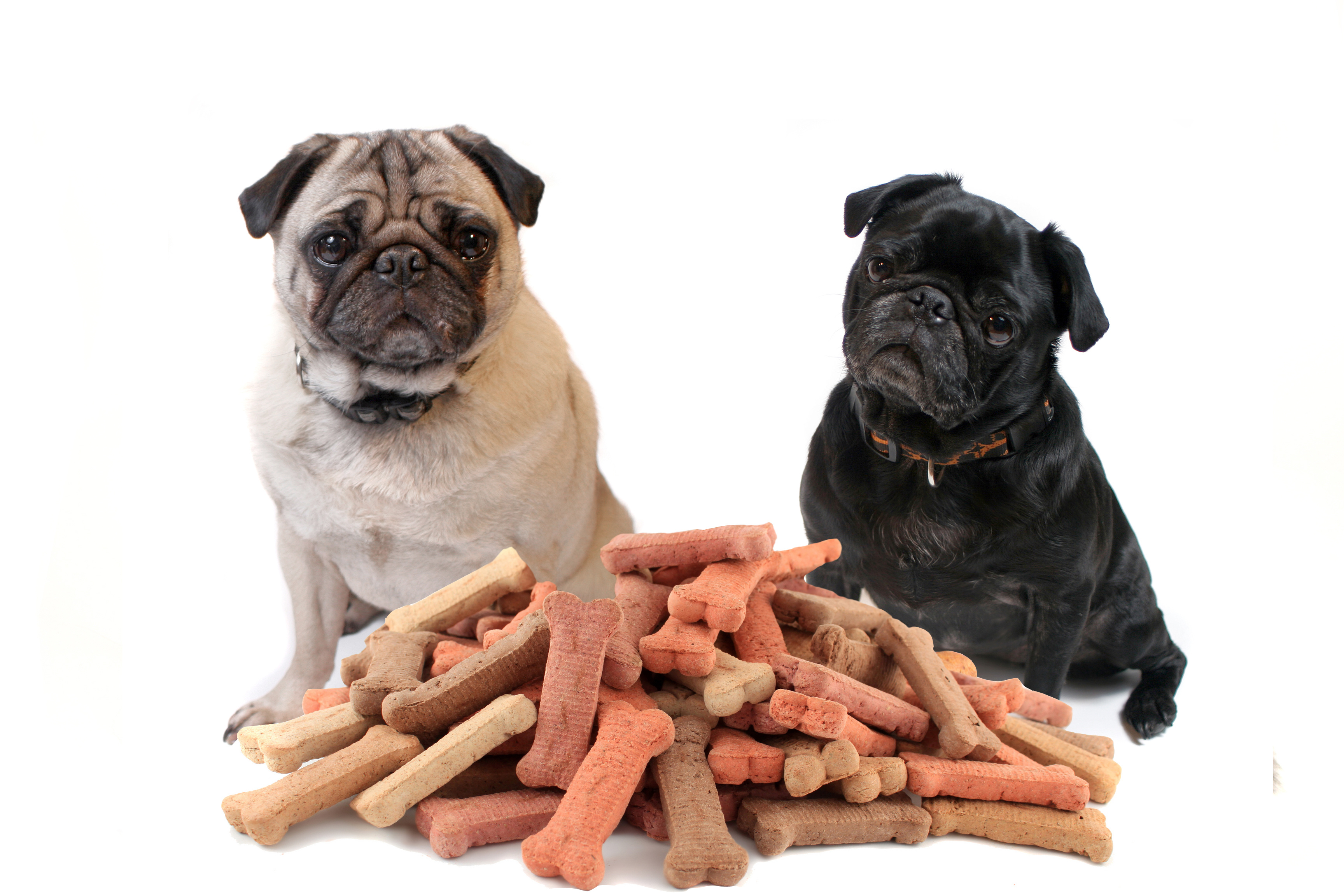 Two cute pugs sitting behind bone shaped dog treats or biscuits on a white background